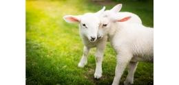 友善動物,羊.jpg
